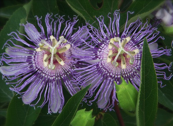 PassionFlower.GBL