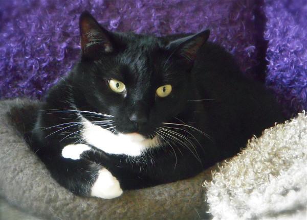 Tuxie, Crossed Paw, 12-12