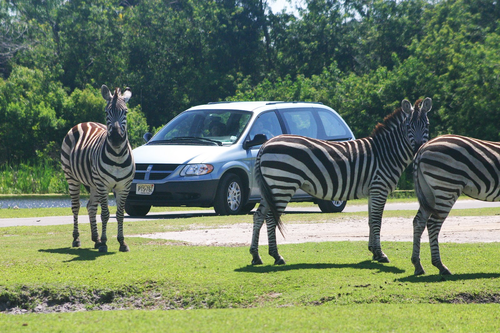 Lion Country Safari Zebra's West Palm Beach Florida