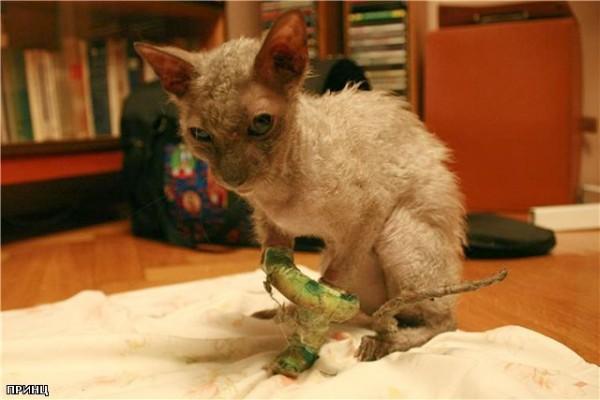 как ухаживать за уличным котом после удаления пальца будет