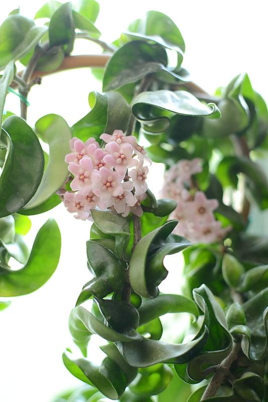 Хойя компакта (hoya carnosa f. compacta)