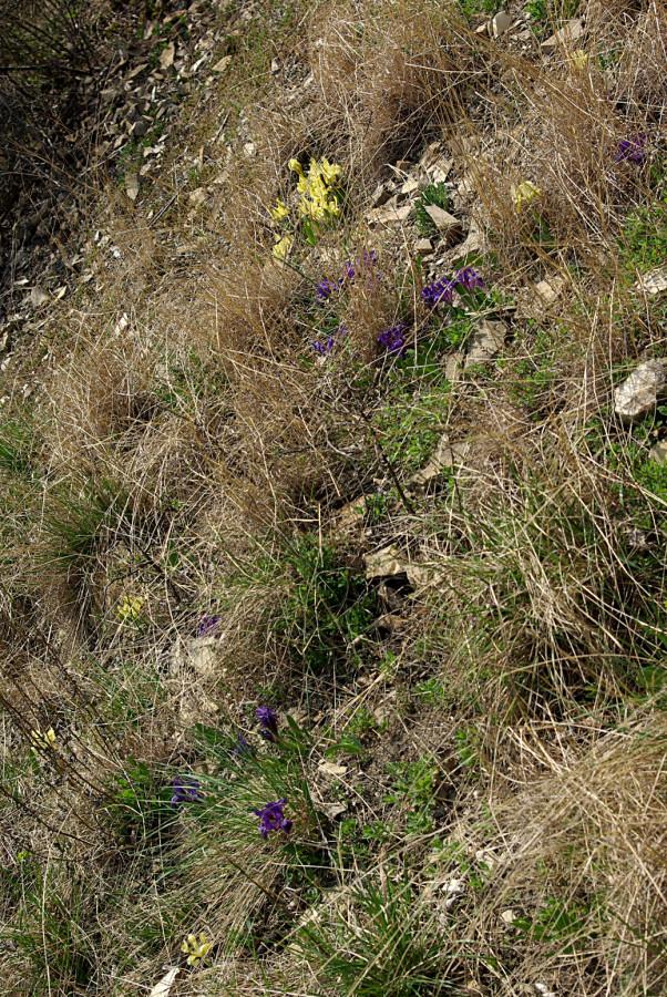 Iris am Bisamberg
