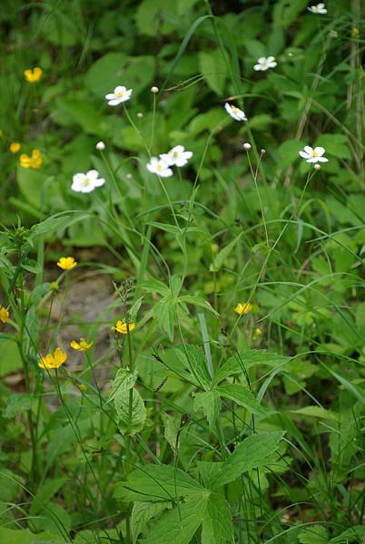 Ranunculus_platanifolius