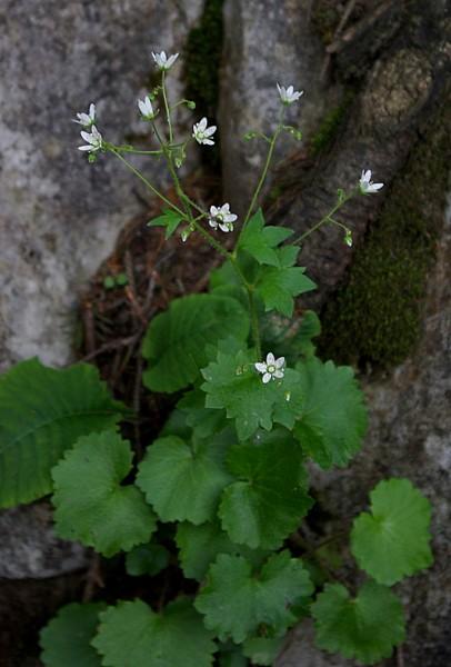 saxifraga_rotundifolia