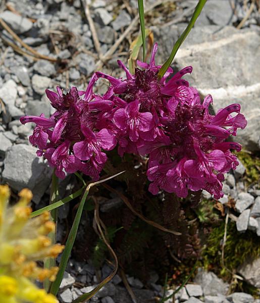 Pedicularis_verticillata