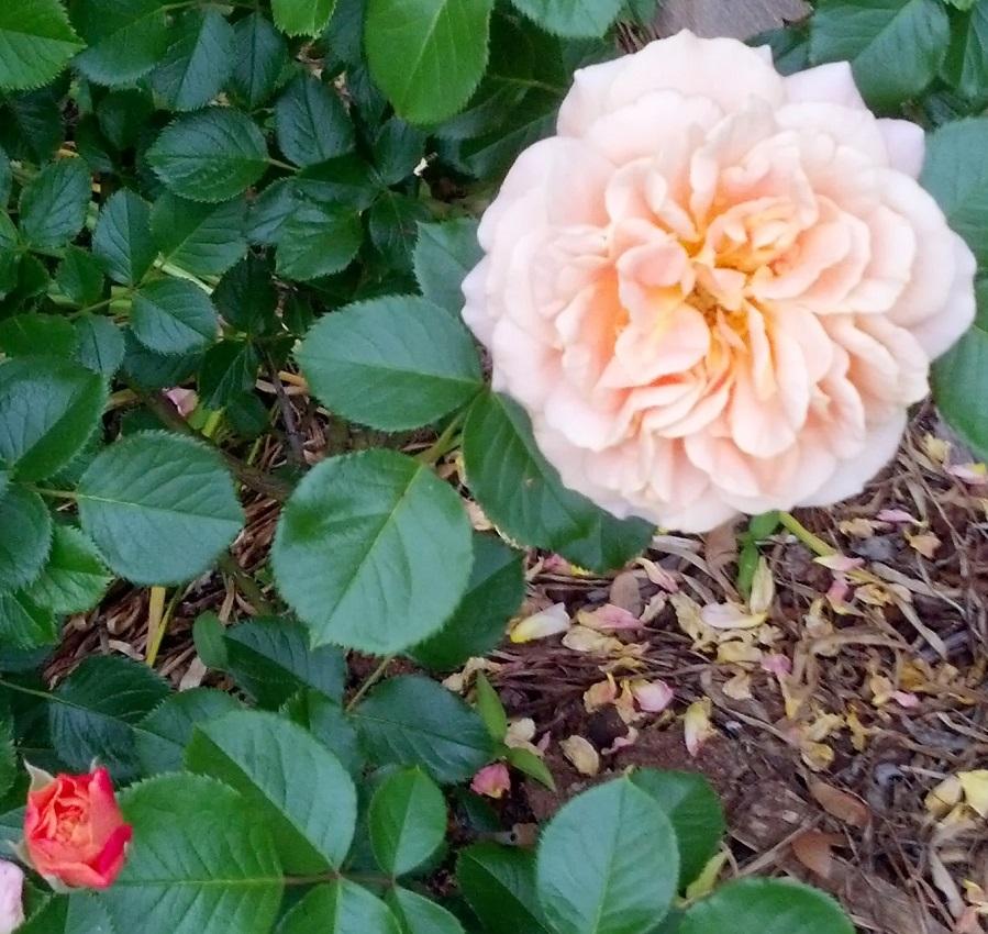 Prairie Sunrise Rose