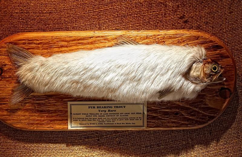 Пушная форель (или пушистая форель) — вымышленное существо, предположительно из Северной Америки и Исландии. По легендам, у форели был густой мех для поддержания тепла тела в северных широтах. Байки о пушистой рыбе впервые появились в XVII веке, затем мохнатую форель «обнаружили» в Исландии. В США о меховой форели впервые написал журнал Montana Wildlife в 1929 году. Чучело форели с белым кроличьим мехом, созданное Россом К. Джобом, хранится в Королевском музее Шотландии.