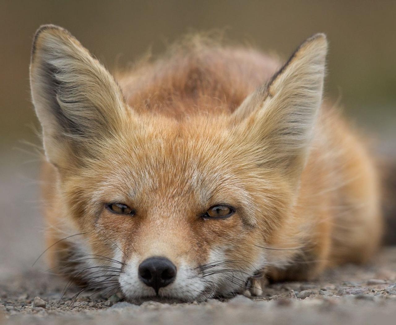 разрешения картинка лисы а не колобок ли ты часом была впечатлена