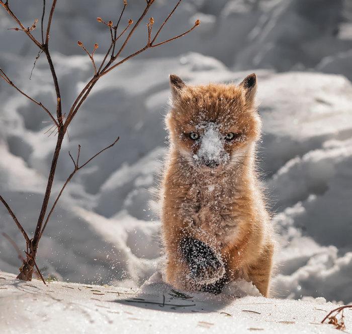 winter-fox-21