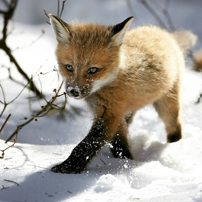 winter-fox-30