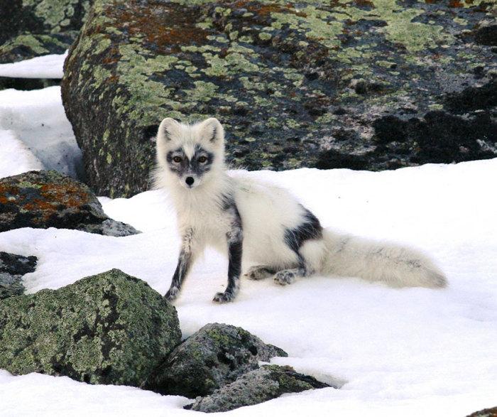 winter-fox-29