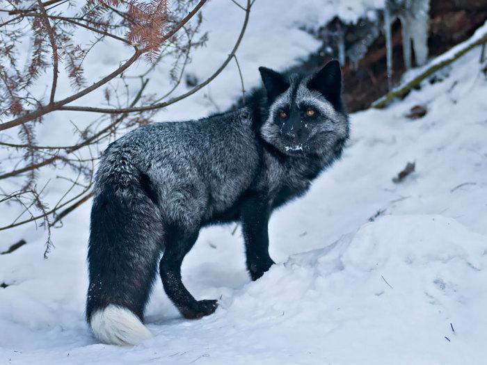 winter-fox-27