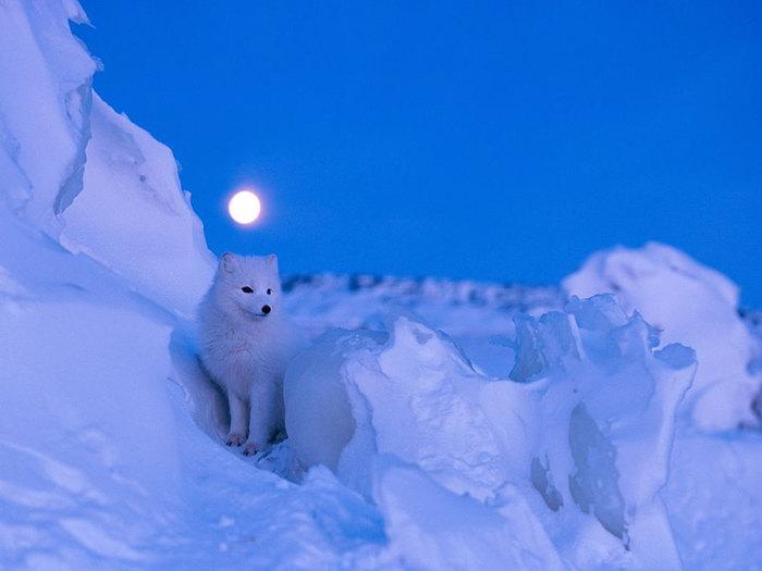 winter-fox-12