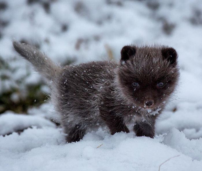 winter-fox-7