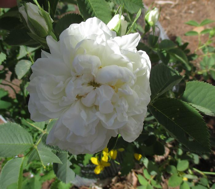 blanchefirst