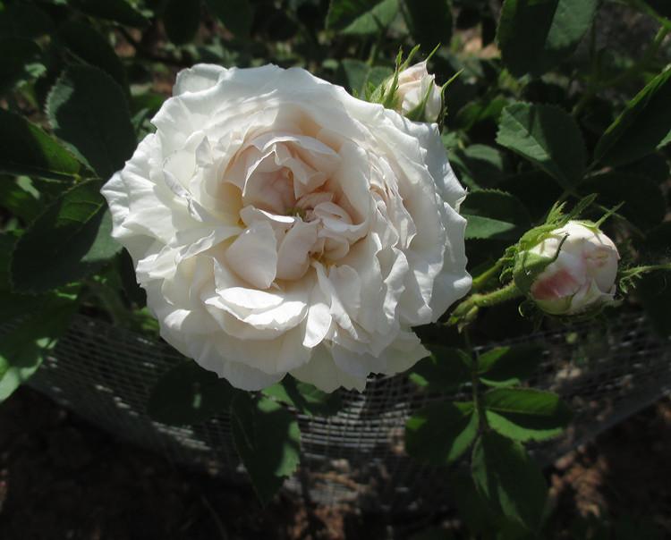 blanchefleurfirst
