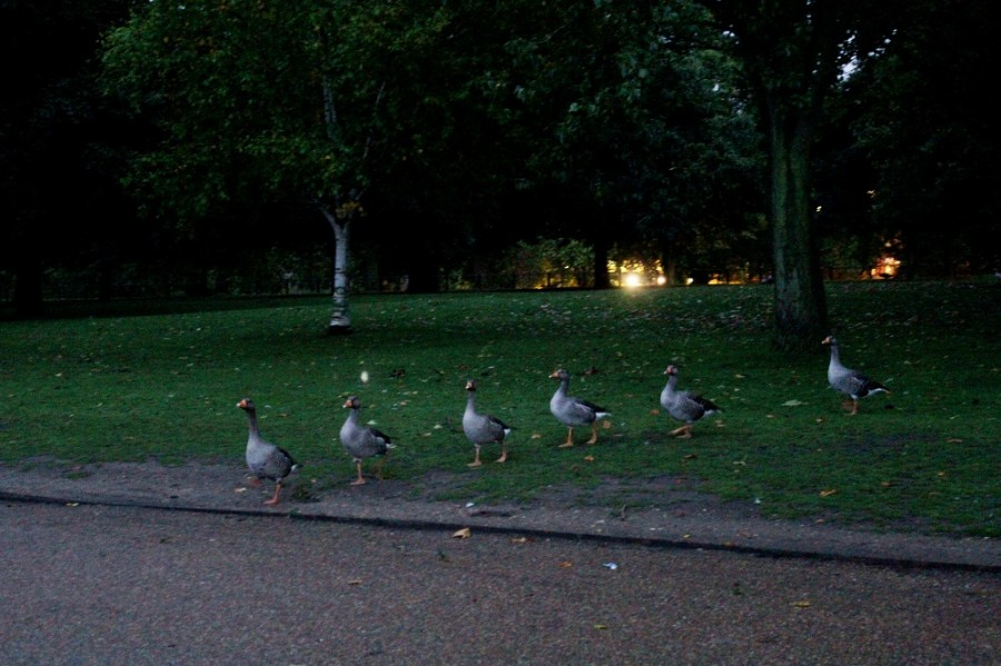 31 - Duck