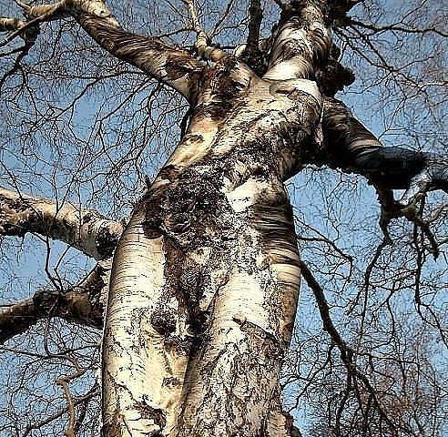 дерево девушка