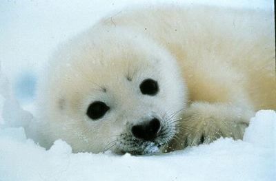40640400_baby_seal