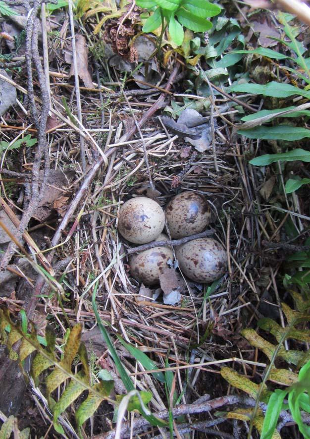 яйца Кулика перебежчика А6нет