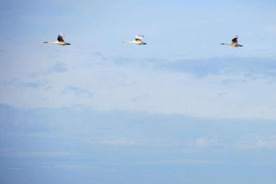 гуси-лебеди А6нет