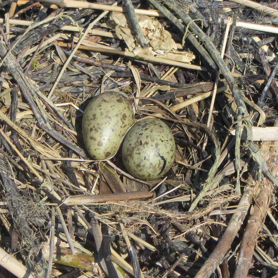 яйца чайки А6нет