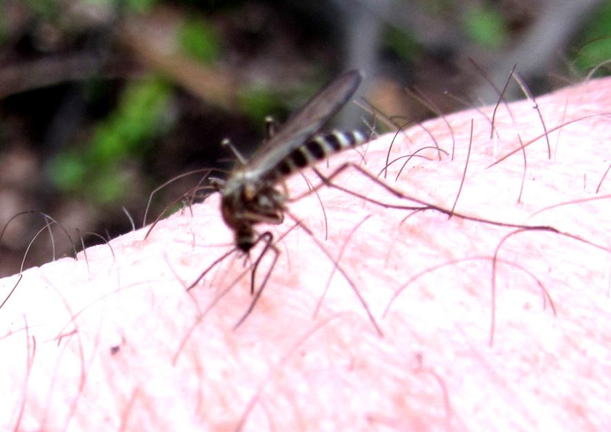комар А6нет