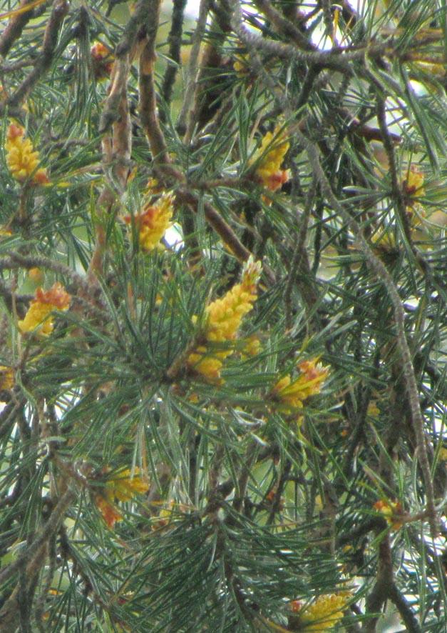 66 сосна цветы А6нет