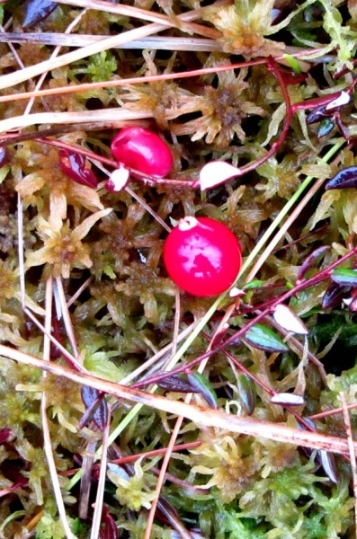ягодки клюквы А6нет