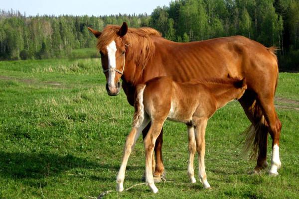 лошадь с сыном А6нет