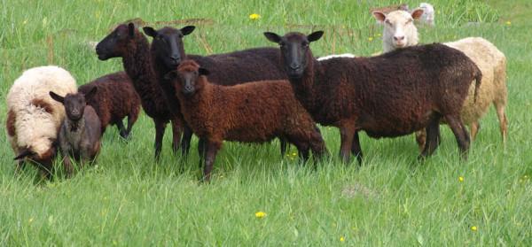 овцы А6нет