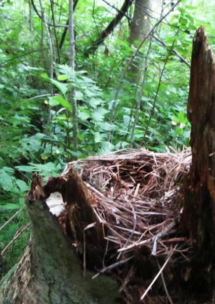 гнездо дрозда-рябинника А6нет