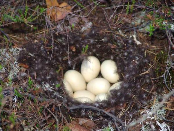 гнездо утки А6нет