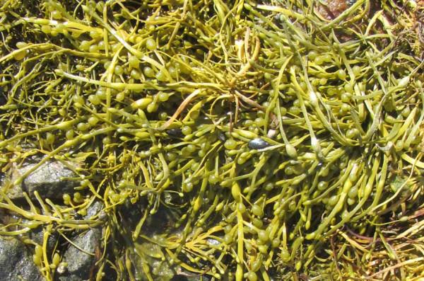 12 водоросли А6нет