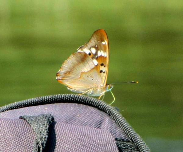 6 бабочка