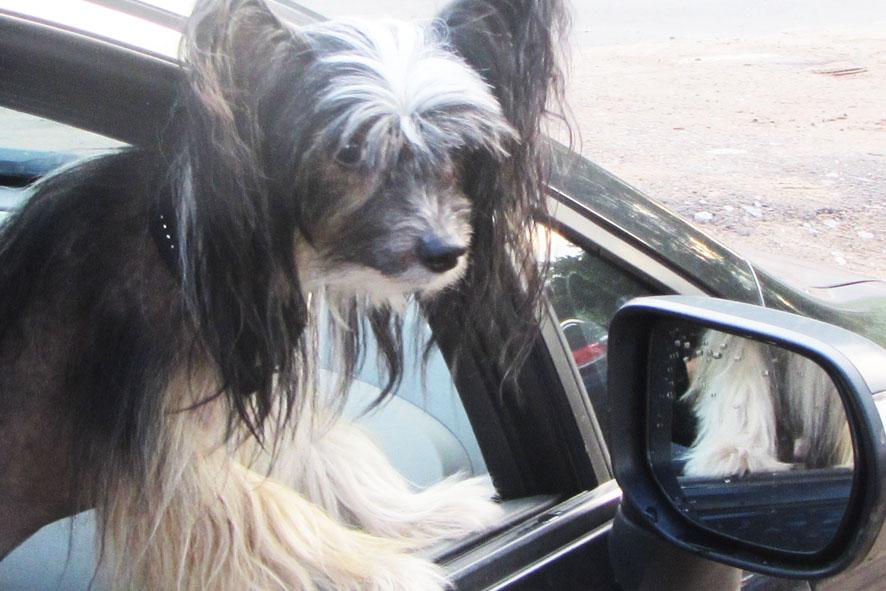 собака-кокетка у зеркала А6нет