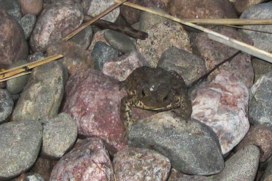 жаба А6нет
