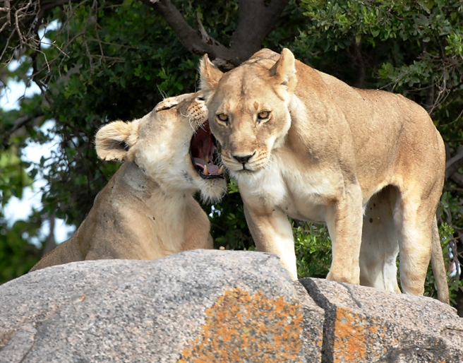 Two Lionesses