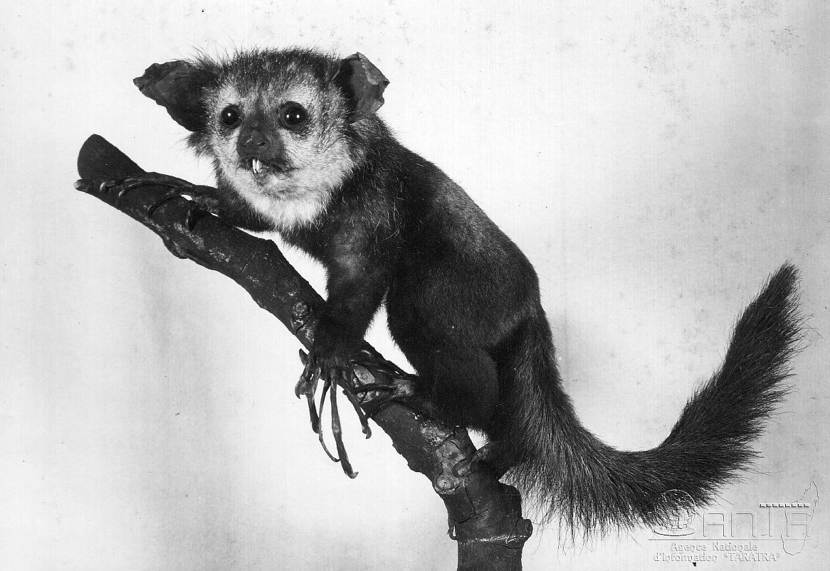 Resize of Daubentonia Madagascariensis ou Aye Aye 1967