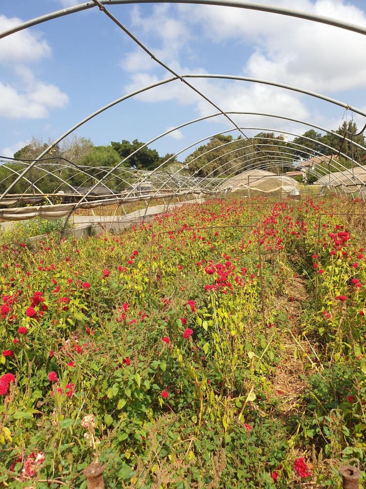 Оказывается , эти цветы еще и в оранжерее выращивают... Правда, она всё равно открыта, так что смысл мне не очень понятен. Может, просто другого места не было?
