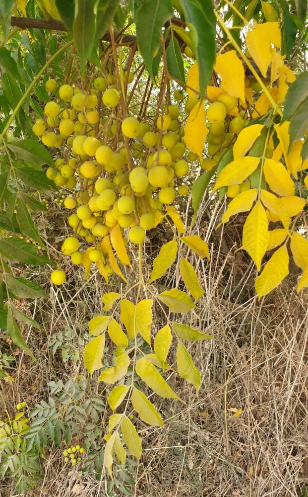 Акации, растущие вдоль дороги, давно отцвели. Теперь на ветках висят плоды (и жёлтые листики!)