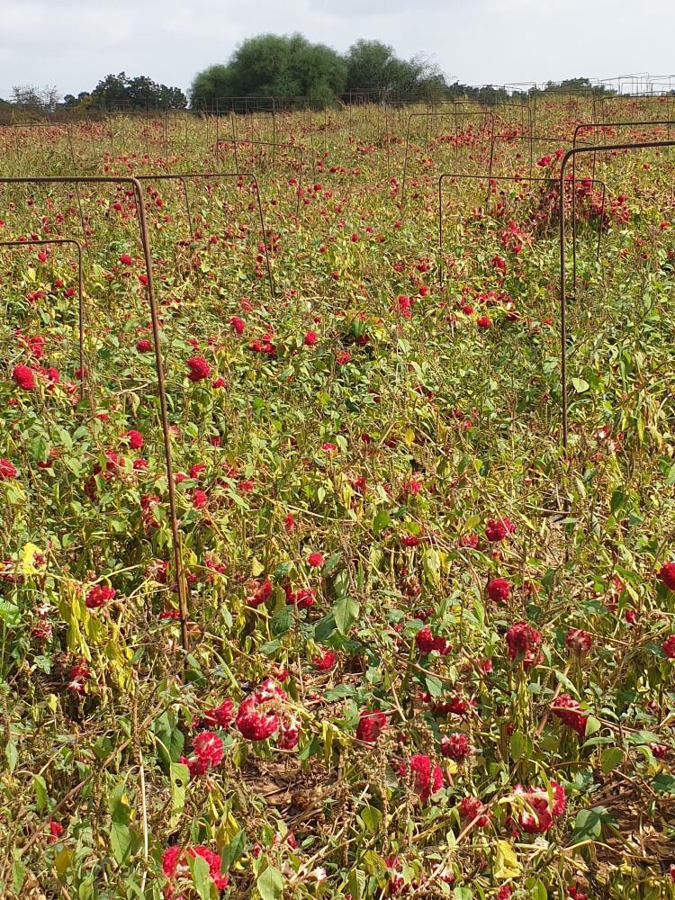 Эти цветы я вижу уже давно. И как их собирали, я тоже видела. Интересно, что так много остались несобранными...