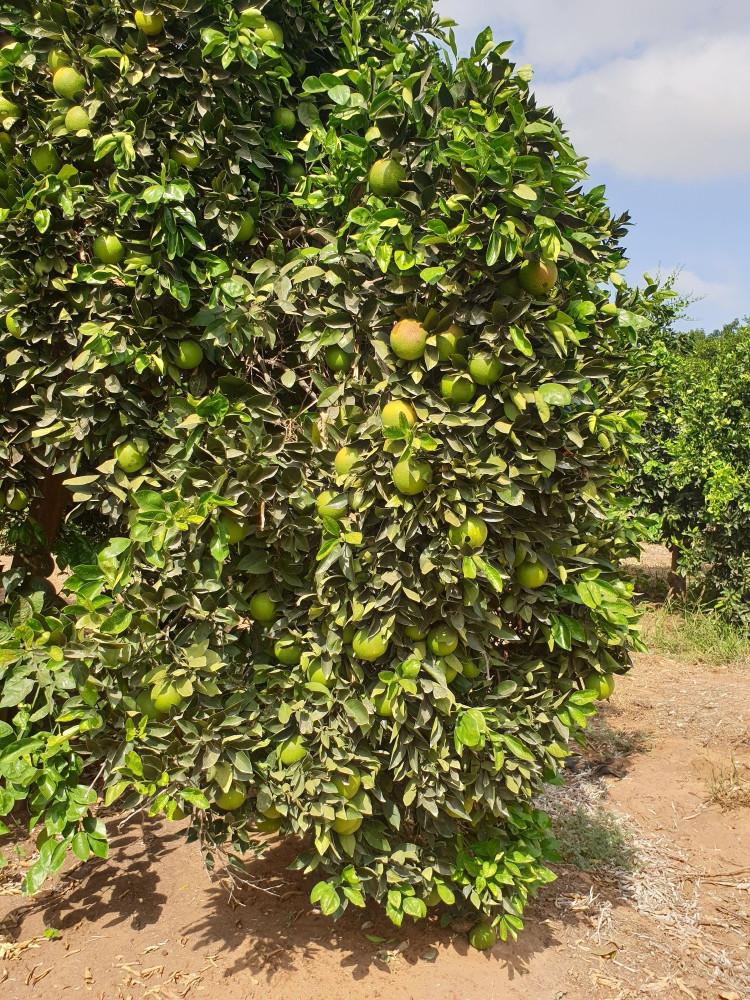 И апельсины-мандарины тоже отцвели. Но пока еще не созрели.