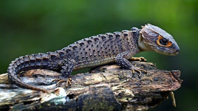 Red-Eyed-Crocodile-Skink-678x381