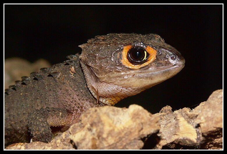 red_eyed_crocodile_skink