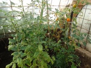 помидоры колосятся.jpg