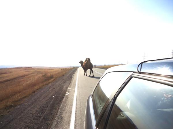 верблюд 1.jpg