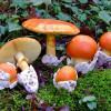Царский-гриб-фото.jpg