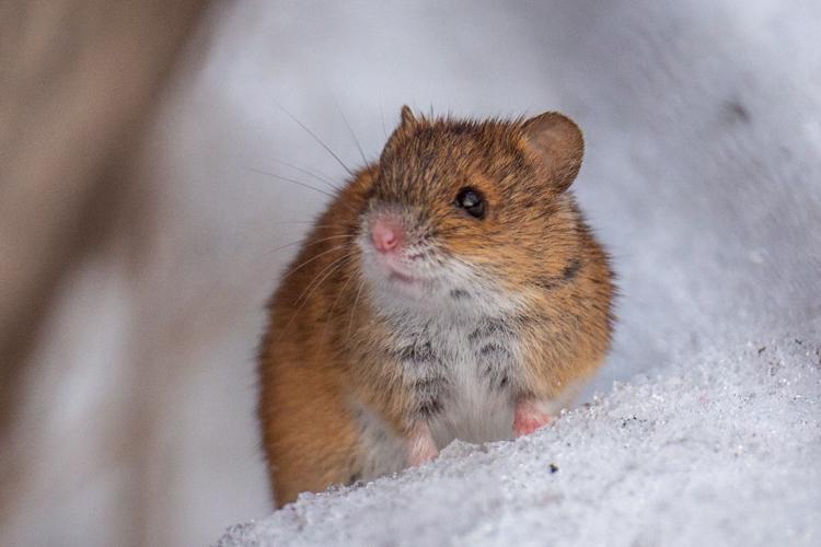 мышь полевая