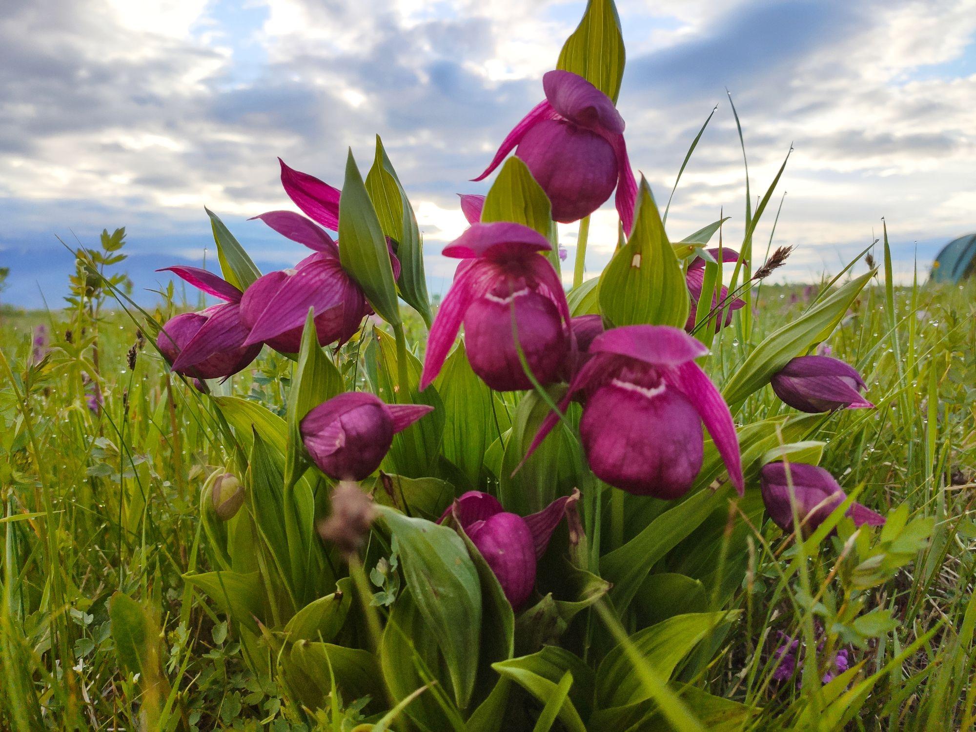 Мы их искали несколько дней, а они нашлись сами совершенно внезапно. Орхидея Венерин башмачок. Красная Книга России